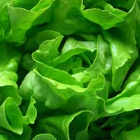 butter_lettuce closeup